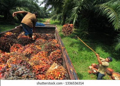 Workers were seen collecting palm oil at PTPN VIII Palm Oil Plantation & Factory Kertajaya, Malimping, West Java, Indonesia. 28/03/2010