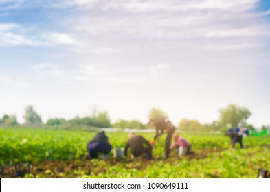 workers work on the field, harvesting, manual labor, farming, agriculture, agro-industry in third world countries, labor migrants, blurred background