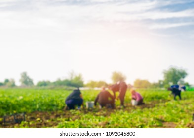 workers work on the field, harvesting, manual labor, farming, agriculture, agro-industry in third world countries, labor migrants, Family farmers. Seacional job. blurred background