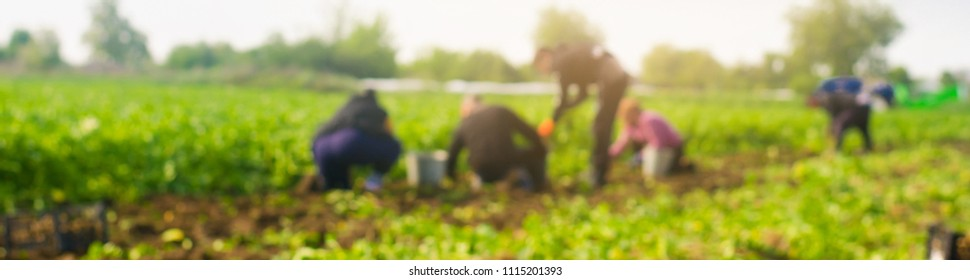 workers work on the field, harvesting, manual labor, farming, agriculture, agro-industry in third world countries, labor migrants, blurred background. banner