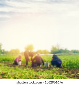 workers work on the field, harvesting, farming, agriculture, agro-industry in third world countries, labor migrants, Family farmers. Seacional job. peasants dig up potatoes. blurred background
