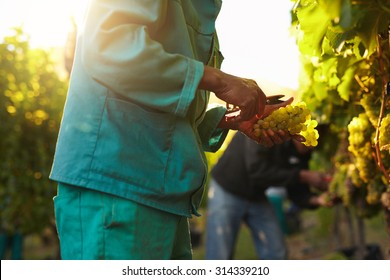 Workers working in vineyard cutting grapes from vines. People picking grapes during wine harvest in vineyard. Focus on hands of the worker.