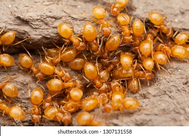 Workers of The Yellow Meadow Ant