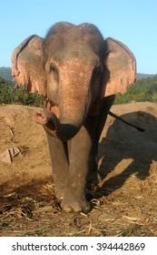 Working Asian Elephant Elephas maximus, Thailand