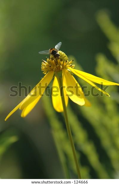 Working bee on yellow flower