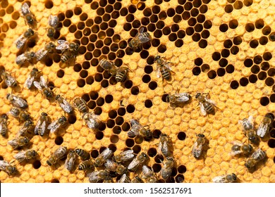 Working bees on honeycombs in beehives in an apiary. Honey-filled frame with honeycombs closeup, view of the working bees on honey cells. Bee on a honeycomb with slices of nectar in a cell.