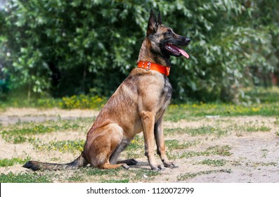 Working Belgian shepherd malinois dog portrait on hot summer day.  Full attention red, sable with black mask on face malinois sit outside with background of green grass
