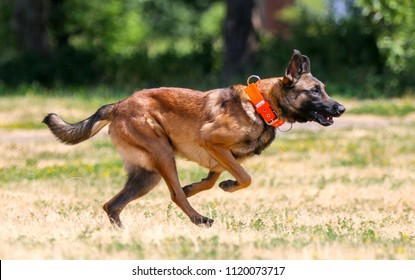Working Belgian shepherd malinois dog running full speed on hot summer day.  Full attention red, sable with black mask on face malinois sit outside