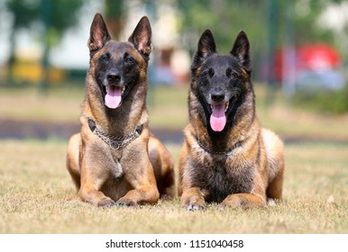 Working Belgian shepherd malinois dog portrait on hot summer day.  Two beautiful full attention red, sable with black mask on face malinois lies outside with background of green grass
