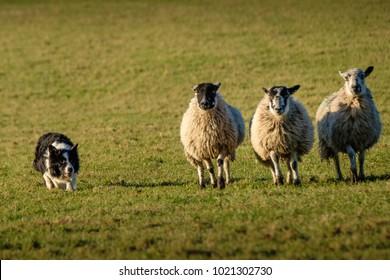 Working border collie sheep dog herding three sheep in a row