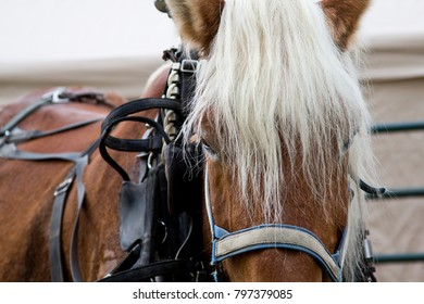 Working Clydesdale horse in harness close up