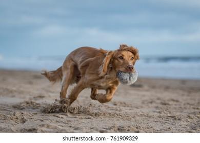 Working Cocker Spaniel