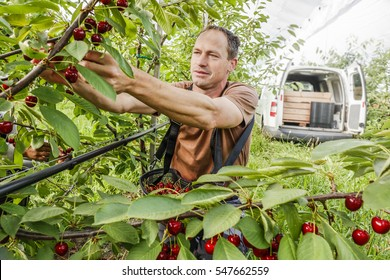 Working in a covered cherry orchard. Farmer plucks ripe cherries.