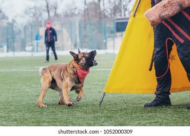 Working dog. Belgian shepherd malinois  outdoors