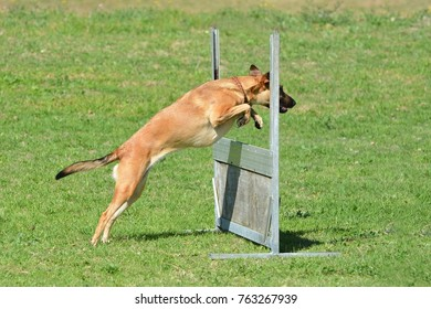Working dog jumping hurdle in park.