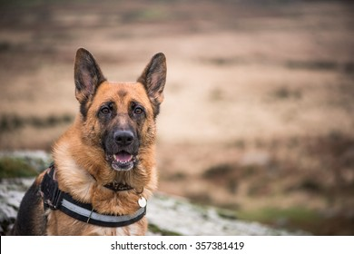 Working doog alsatian portrait outdoor in autumn background