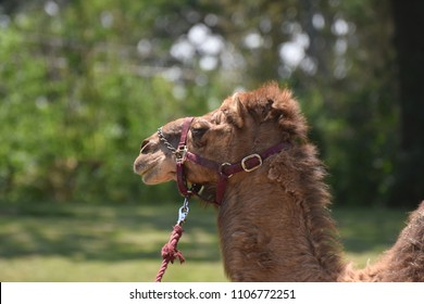 A working dromedary camel with a halter and lead.