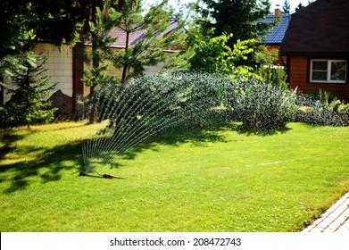Working garden garden sprinkler on the green lawn in the backyard on the sunny summer evening