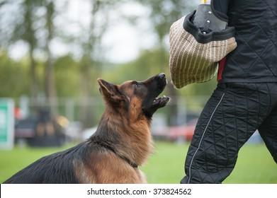 Working german shepherd