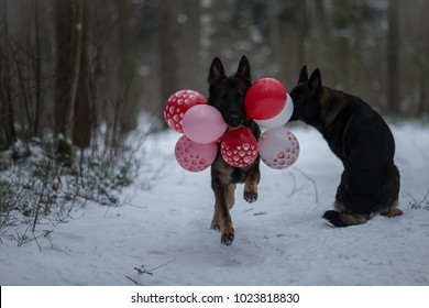 Working German shepherd brings balloons to his love – other dog