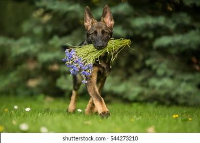 Working German shepherd brings flowers