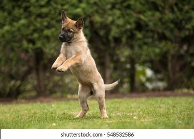 Working German shepherd puppy jumping- gray