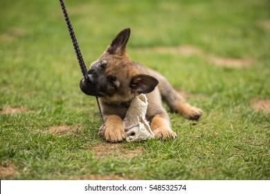 Working German shepherd puppy playing - gray