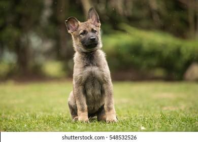 Working German shepherd puppy sitting- gray