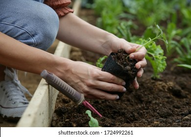 Working in the organic vegetable garden, taking care of young seedlings and transplanting young plants into the garden soil.