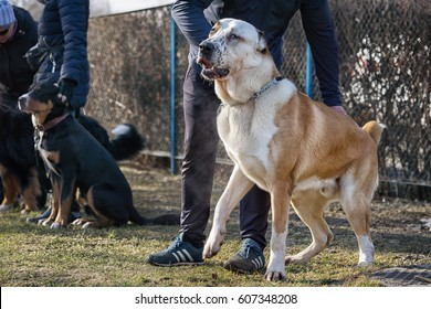 Working out the order to sit on the dog obedience course. Owner of caucasian shepherd dog puts the dog down.
