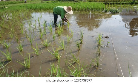 Working in rice fields at Malaysia