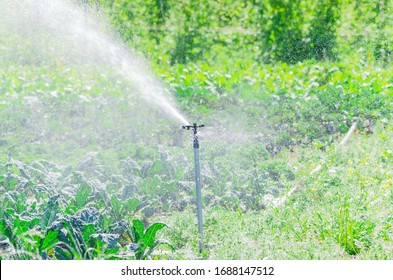 Working rotating sprinkler irrigation at kale farm in Washington, America. Modern and commonly used system of irrigating in commercial agriculture and farming