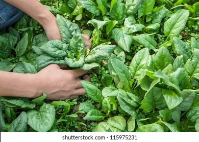 working with spinach in the farm garden