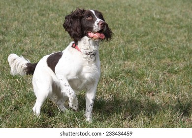 a working type english springer spaniel in a field