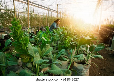 Working women work and  harvest plant in Greenhouse nursery.