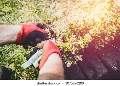 Works In Garden and Planting Seedlings. A Man Cuts the Branches of Bushes and Trees, makes Seedlings. Gardener Dressed in Pants and Work Shoes is doing work. View of a Man Sowing Seedlings to Ground.