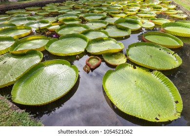 World famous pond with giant water lilies in the botanical garden of Pampelmousses, Mauritius island