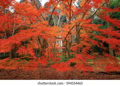World Heritage site leaves around chuson-ji Temple