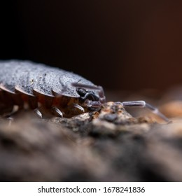 The World of Small Isopods