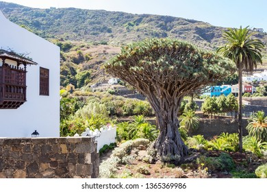 the world's largest dragon tree (El Drago Milenario) in Icod de los Vinos, Tenerife, Spain2