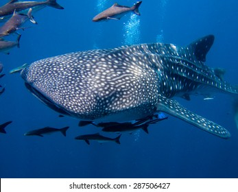 The worlds largest fish a whale shark, Rhincodon typus, swimming by with it's entourage.