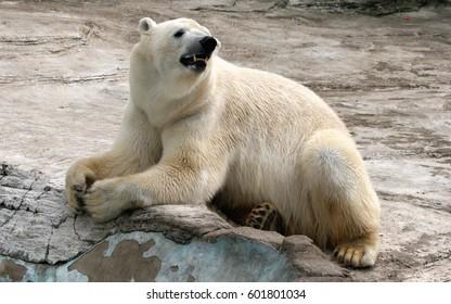 The world's largest land carnivore, polar bear/ Ursus maritimus