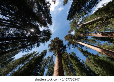 World's largest tree, General Sherman, Sequoia National Park, California, USA