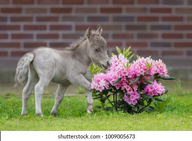 World's smallest foal measuring just 29 cm tall in comparison with rhododendron. American miniature horse.