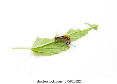 Worm eating Basil leaf on a white background.