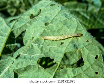 A worm eating the leaf of soy plant