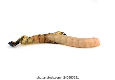 Worm isolated on white background