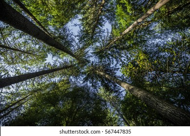 Worm's eye view of giant Douglas fir trees in Perthshire, Scotland