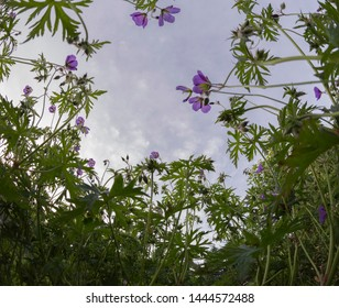 Worm's eye view of purple flowers reaching up to the sky.
