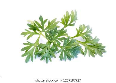 Wormwood absinthe plant isolated on white background